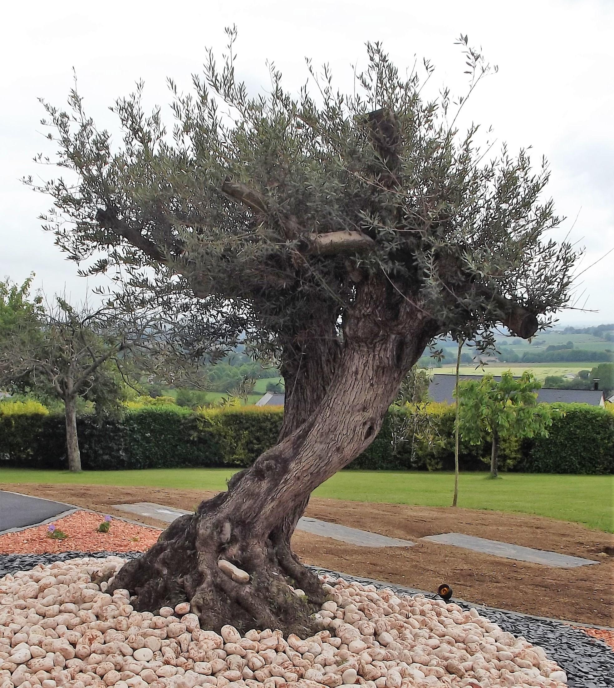 olivier paillage éclairage brochard paysage oisseau